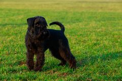 Dog breed miniature schnauzer. Miniature schnauzer is stand on green grass royalty free stock image