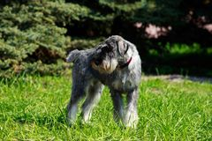 Miniature Schnauzer breed dog. Dog breed Miniature Schnauzer stands on green grass stock photo