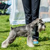 Dog breed Miniature Schnauzer Zwergschnauzer standing on green g royalty free stock photos