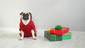 Dog of breed a Mops in a reindeer suit. The dog wearing a red-white sweater, sitting beside presents. Merry Christmas
