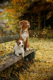 Dog breed Nova Scotia Duck Tolling Retriever and Jack Russell Terrier Stock Photo