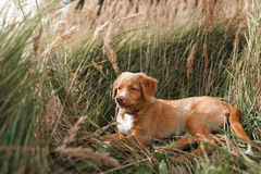 Dog breed Nova Scotia Duck Tolling Retriever Stock Photography