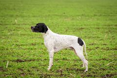 Dog, a breed of Overno Bracque, in a standing position, side view. Field stock photos