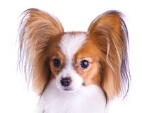 Dog of breed papillon Stock Image