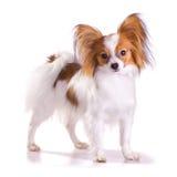 Dog of breed papillon Stock Image