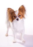 Dog of breed papillon Stock Images