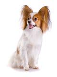 Dog of breed papillon Royalty Free Stock Image