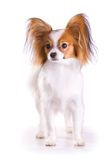 Dog of breed papillon Royalty Free Stock Photo