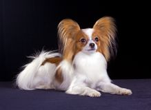 Dog of breed papillon royalty free stock images