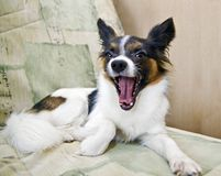 Dog of breed papillon Stock Photos