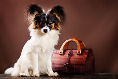 Dog breed Papillon. Beautiful dog breed Papillon on a brown background royalty free stock images