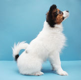 Dog breed papillon on a blue background. Little puppy dog breed papillon standing on a blue background Stock Photography
