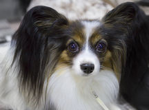 The dog breed Papillon