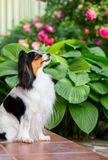 Dog of the breed Papillon Stock Photography