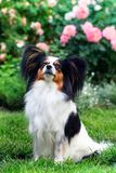 Dog of the breed Papillon in the garden. Dog of the breed Papillon on the lawn in the garden Royalty Free Stock Photography