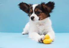 Dog breed papillon lies Royalty Free Stock Image