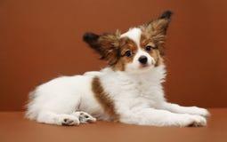 Dog Breed Papillon Lying Royalty Free Stock Image