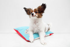 Dog breed papillon lying on a pillow Royalty Free Stock Photos