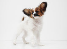 Dog breed papillon standing Stock Image