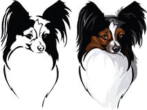 Dog breed papillon Stock Photo
