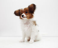 Dog breed papillon on a white background Royalty Free Stock Photo