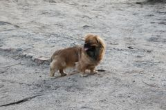 Dog breed Pekingese brown color. royalty free stock images