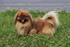 Dog breed Pekingese. On a green grass Stock Images