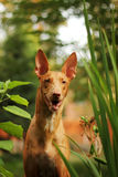 Dog breed Pharaoh hound. Portrait of dog breed Pharaoh hound among foliage Stock Photo
