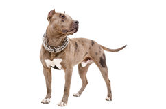 Dog breed pit bull. Standing isolated on white background Stock Images