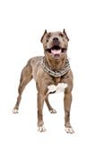 Dog breed Pit bull Stock Photos