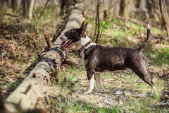Dog breed Pit Bull Terrier Royalty Free Stock Photo