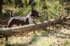 Dog breed Pit Bull Terrier Royalty Free Stock Photography