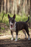 Dog breed Pit Bull Terrier Royalty Free Stock Images