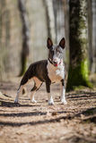 Dog breed Pit Bull Terrier walking Stock Images