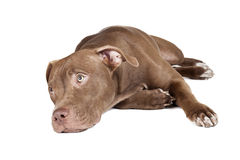Dog breed pit bull Royalty Free Stock Photography
