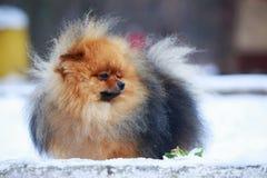 The dog breed pomeranian spitz. The portrait small dog breed Pomeranian Spitz stock photos