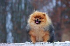 The dog breed pomeranian spitz. The portrait small dog breed Pomeranian Spitz stock photography
