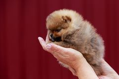 The dog breed pomeranian spitz. Small dog breed Pomeranian Spitz on the hands royalty free stock photography