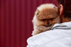 The dog breed pomeranian spitz. Small dog breed Pomeranian Spitz on the shoulder stock images