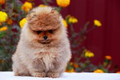 The dog breed pomeranian spitz. Small dog breed Pomeranian Spitz sits on a background of flowers royalty free stock photos