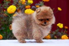 The dog breed pomeranian spitz. Small dog breed Pomeranian Spitz stands on a background of flowers stock photo