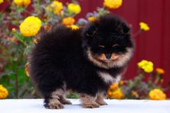 The dog breed pomeranian spitz. Small dog breed Pomeranian Spitz stands on a background of flowers royalty free stock photography