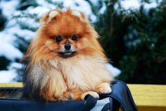 The dog breed pomeranian spitz. Small pomeranian spitz on a background of snow-covered green bush close-up royalty free stock images