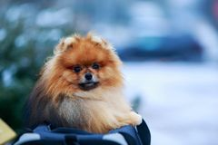 The dog breed pomeranian spitz. Small pomeranian spitz on a background of snow-covered green bush close-up royalty free stock photography