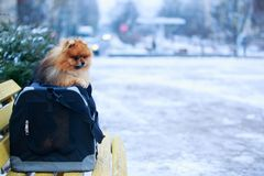 The dog breed pomeranian spitz. Small pomeranian spitz in a bag on the yellow bench royalty free stock image