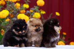 The dog breed pomeranian spitz. Three puppies breed Pomeranian Spitz on a background of flowers royalty free stock image