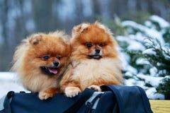The dog breed pomeranian spitz. Two dogs breed pomeranian spitz sit in a bag royalty free stock photo
