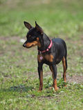 Dog of breed of Prague Ratter Stock Images