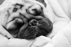 Dog breed pug asleep Black and white Stock Images