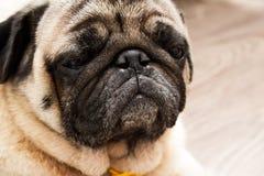 Dog breed pug closeup Stock Photography